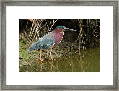 Green Heron (butorides Virescens Framed Print by Larry Ditto