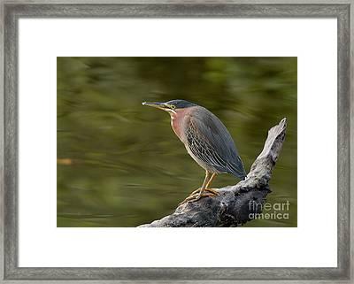 Green Heron Framed Print by Doug Herr