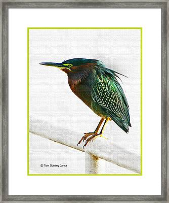 Green Heron In Scottsdale Framed Print