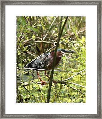 Green Heron Framed Print