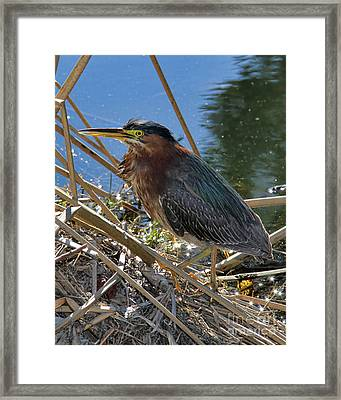 Green Heron  Framed Print by Mariola Bitner