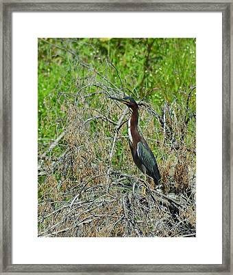 Green Heron Framed Print by Mary Zeman