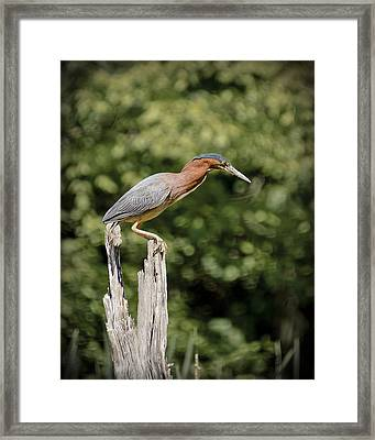 Green Heron On Stump Framed Print by Bradley Clay