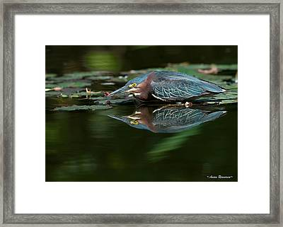 Green Heron Reflection 2 Framed Print by Avian Resources