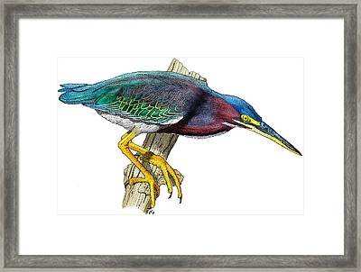 Green Heron Framed Print by Roger Hall