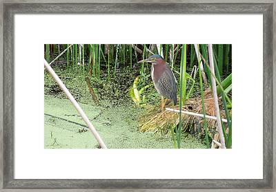 Framed Print featuring the pyrography Green Heron by Ron Davidson