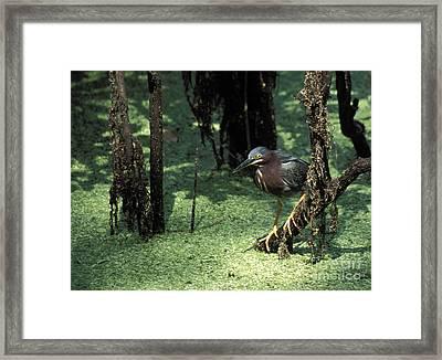 Green Heron Framed Print by Steven Ralser