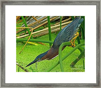 Green Heron The Stretch Framed Print