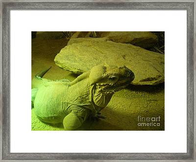Green Iguana Framed Print by Ann Fellows