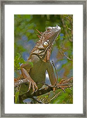 Framed Print featuring the photograph Green Iguana by Dennis Cox WorldViews