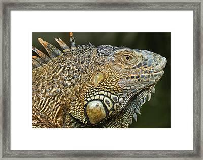 Green Iguana (iguana Iguana Framed Print by William Sutton