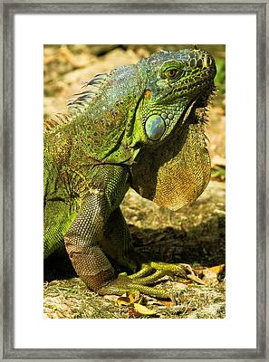 Green Iguana In Cozumel Framed Print