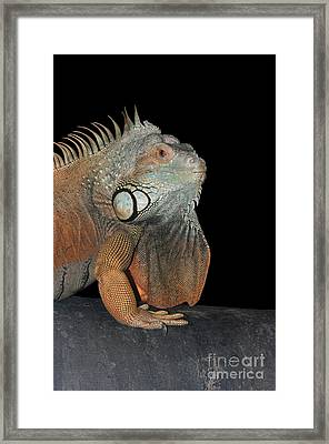 Green Iguana  Framed Print by Judy Whitton