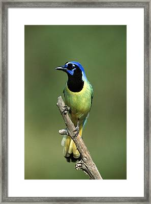 Green Jay Rio Grande Valley Texas Framed Print