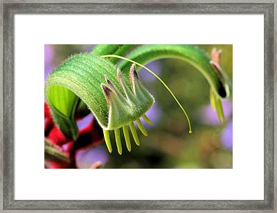 Green Kangaroo Paw Framed Print