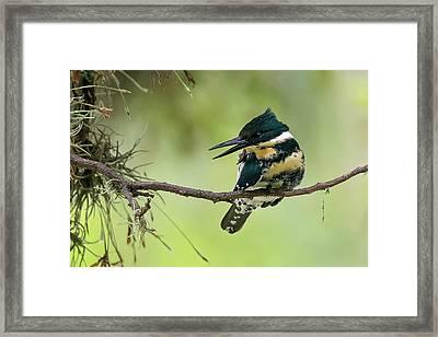 Green Kingfisher Framed Print