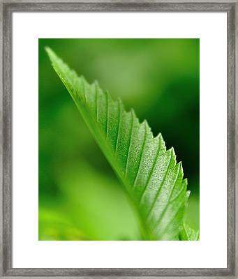 Green Leaf 002 Framed Print