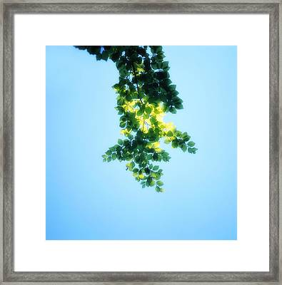 Green Leaves In The Sunshine - Soft - Available For Licensing Framed Print