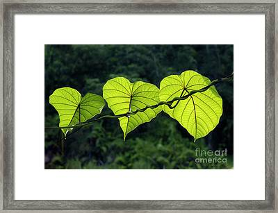 Green Leaves Framed Print by William Voon