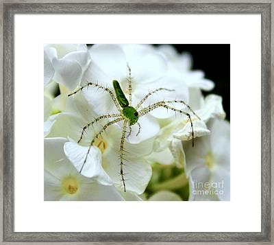 Green Lynx Spider Framed Print by Leslie Kirk