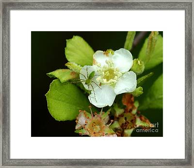 Green Lynx Spider On Blossom Framed Print by Theresa Willingham