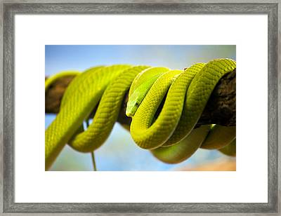 Green Mamba Coiled Up On A Branch Framed Print by Artur Bogacki