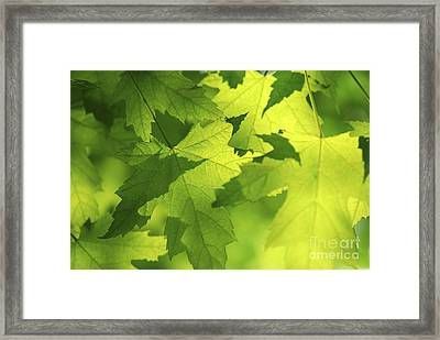 Green Maple Leaves Framed Print by Elena Elisseeva