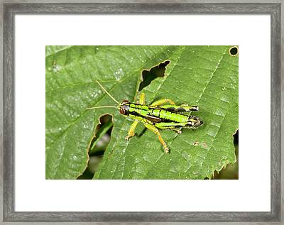Green Mountain Grasshopper Framed Print by Bob Gibbons