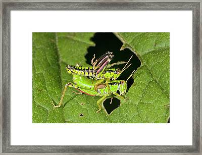 Green Mountain Grasshoppers Mating Framed Print by Bob Gibbons