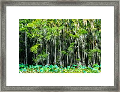 Green On Gray - Forest Of Bald Cypress Trees -texas Framed Print