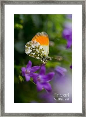 Green-orange Butterfly Sitting On The Violet Bells Flowers Framed Print by Jaroslaw Blaminsky
