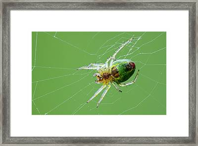 Green Orb Weaver Spider Framed Print by Heath Mcdonald