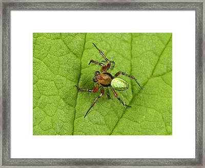 Green Orb-weaver Spider Framed Print by Nigel Downer