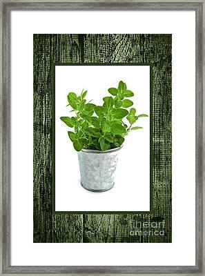 Green Oregano Herb In Small Pot Framed Print by Elena Elisseeva