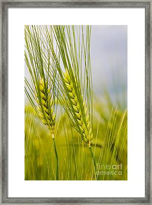 Green Rye Beautiful Framed Print by Boon Mee