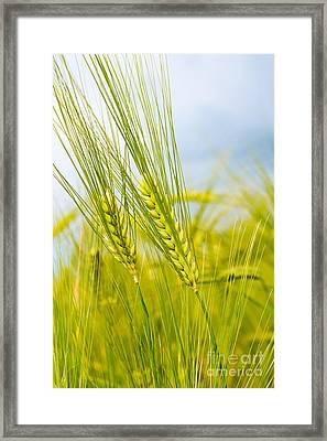Green Rye Framed Print by Boon Mee