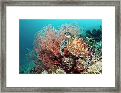 Green Sea Turtle And Gorgonian Framed Print