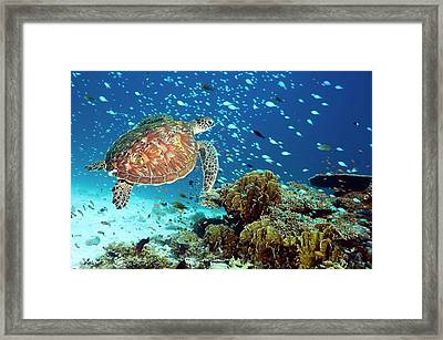 Green Sea Turtle And Reef Fish Framed Print