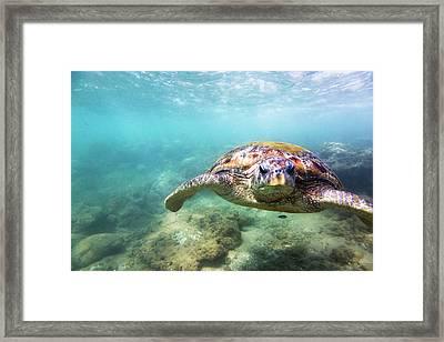 Green Sea Turtle Chelonia Mydas Framed Print by Danilovi