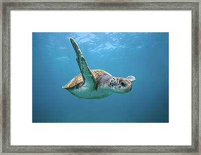 Green Sea Turtle In Canary Islands Framed Print by James R.d. Scott