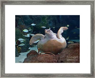 Green Sea Turtle Framed Print by Kathy Baccari