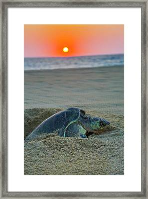 Green Sea Turtle Laying Eggs, Hotelito Framed Print