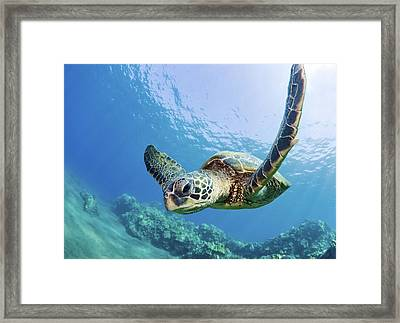 Green Sea Turtle - Maui Framed Print