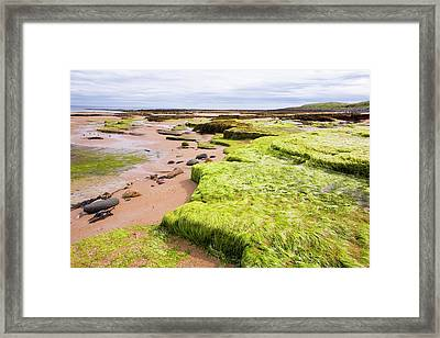 Green Sea Weed On Seahouses Beach Framed Print