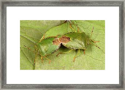 Green Shield Bugs Mating Framed Print by Nigel Downer