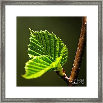 Green Spring Leaves Framed Print by Elena Elisseeva