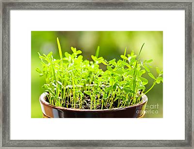 Green Spring Seedlings Framed Print by Elena Elisseeva