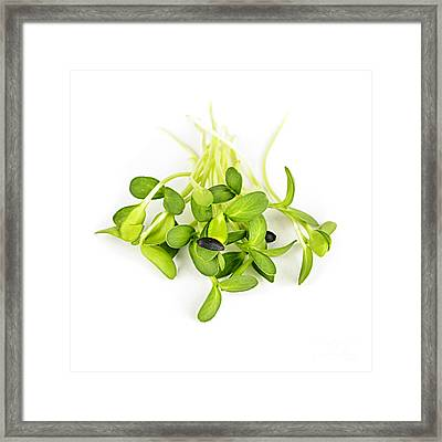 Green Sunflower Sprouts Framed Print by Elena Elisseeva