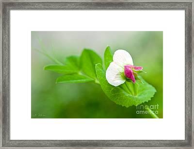 Green Sweet Pea Flower Framed Print by Iris Richardson