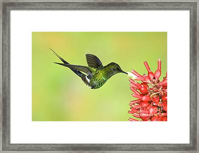Green Thorntail Hummingbird Framed Print by Anthony Mercieca